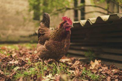 В Кузбассе птицефабрика получила штраф в 200000 рублей из-за куриного помёта