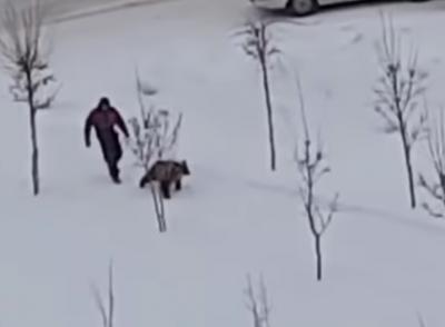 Обычный день в Кузбассе: видео, как по улице выгуливают медвежонка