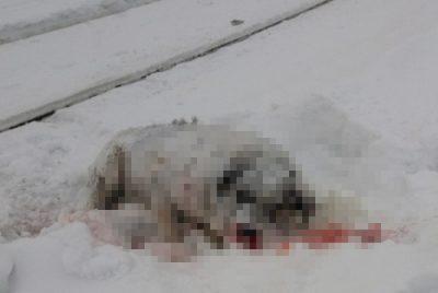 Кемеровский трамвай насмерть сбил пса: комментарий МЧС