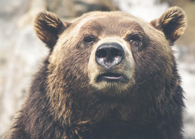 На трассах в Шерегеше заметили медвежьи следы