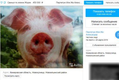 Фото: в Кузбассе продают свинью за полмиллиона рублей
