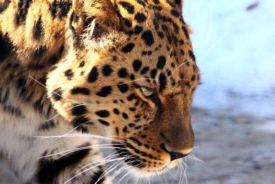 В Кузбассе возбудили уголовное дело из-за двух леопардов