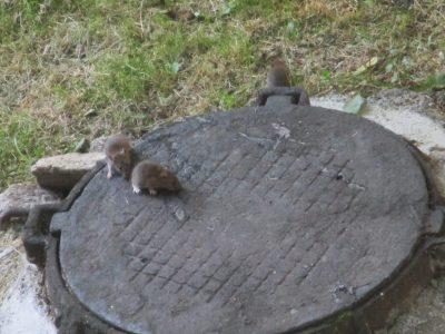 Видео: возле кемеровских детсадов беспечно бегают крысы