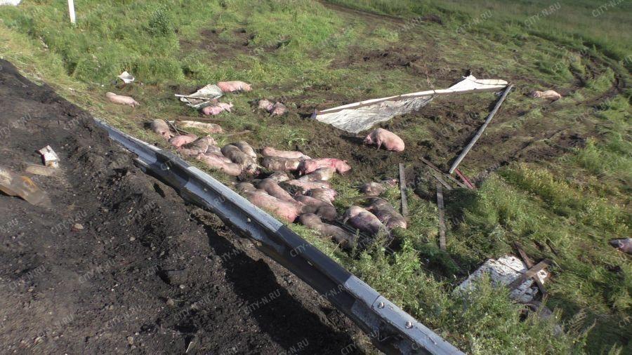 Видео: в ДТП на кузбасской трассе массово погибли животные